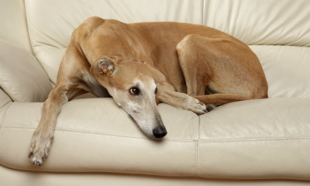 tan greyhound sitting on sofa