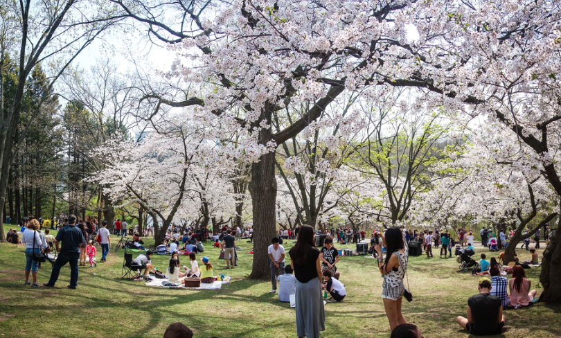 Cherry blossoms and crowd at Toronto's High Park