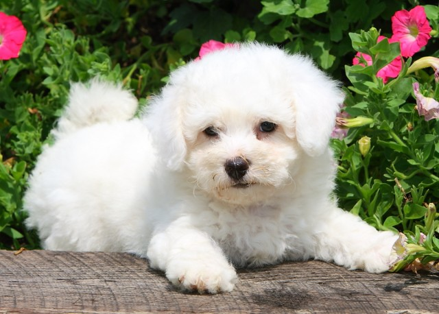 The 9 best dog breeds for apartment dwellers
