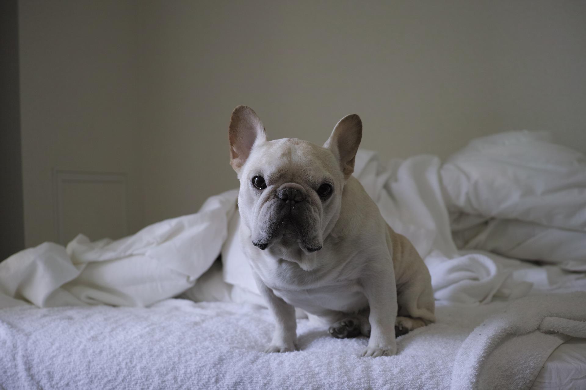 frenchie dog sitting on bed