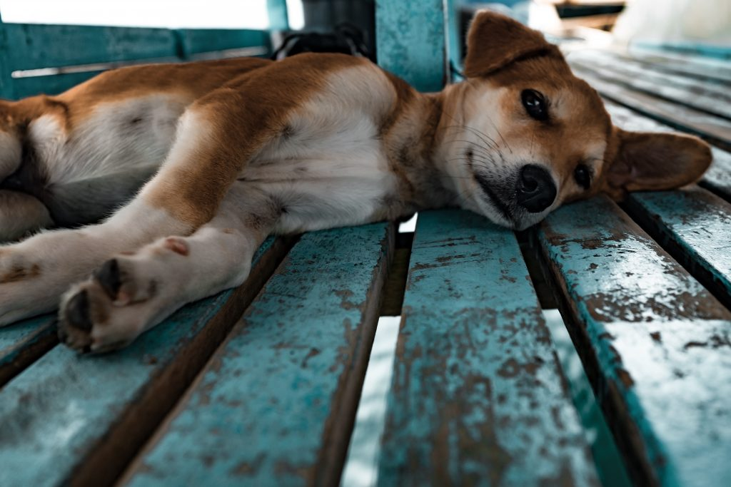 Puppy lying on side on a blue bench