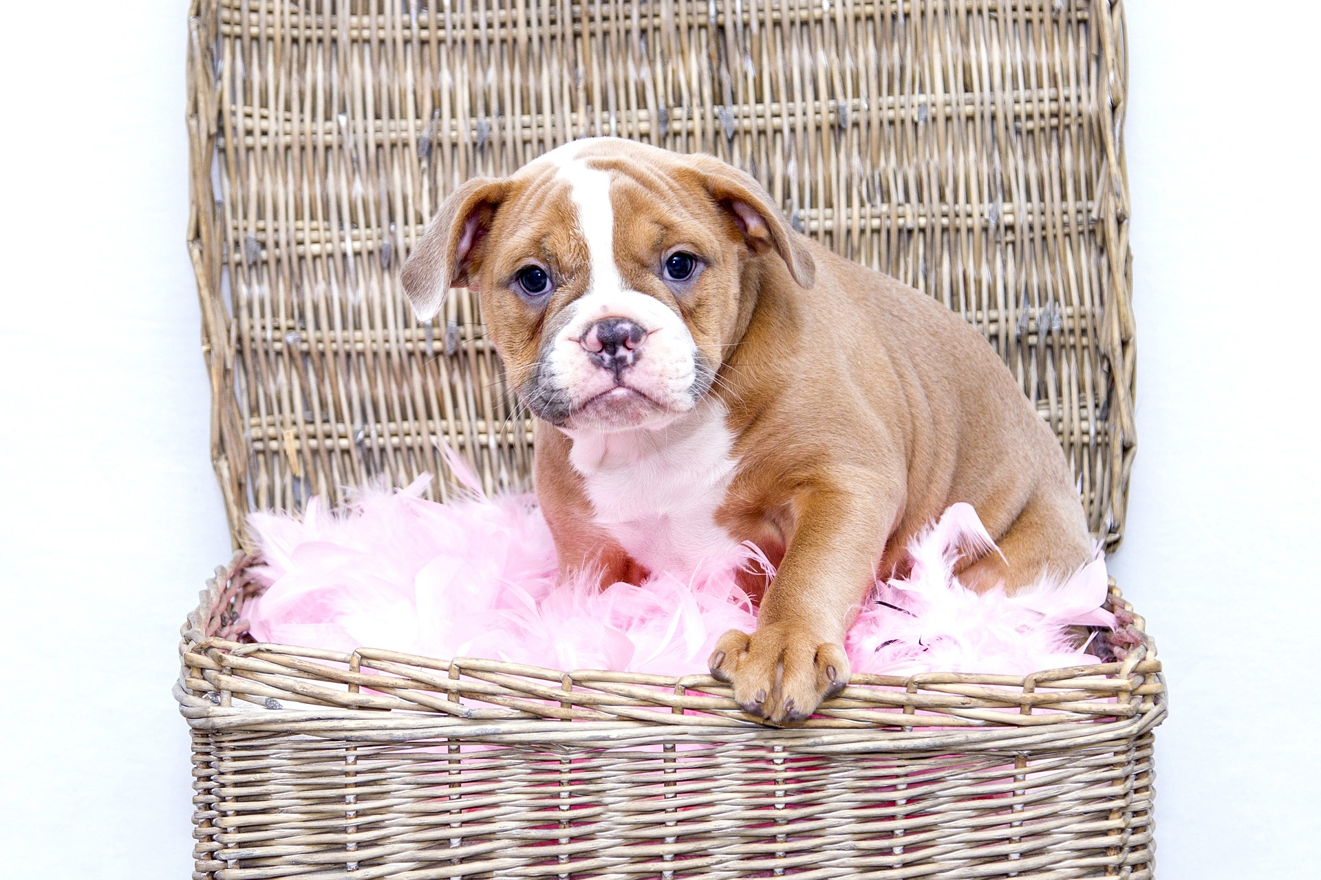 tan bulldog in basket with pink feathers