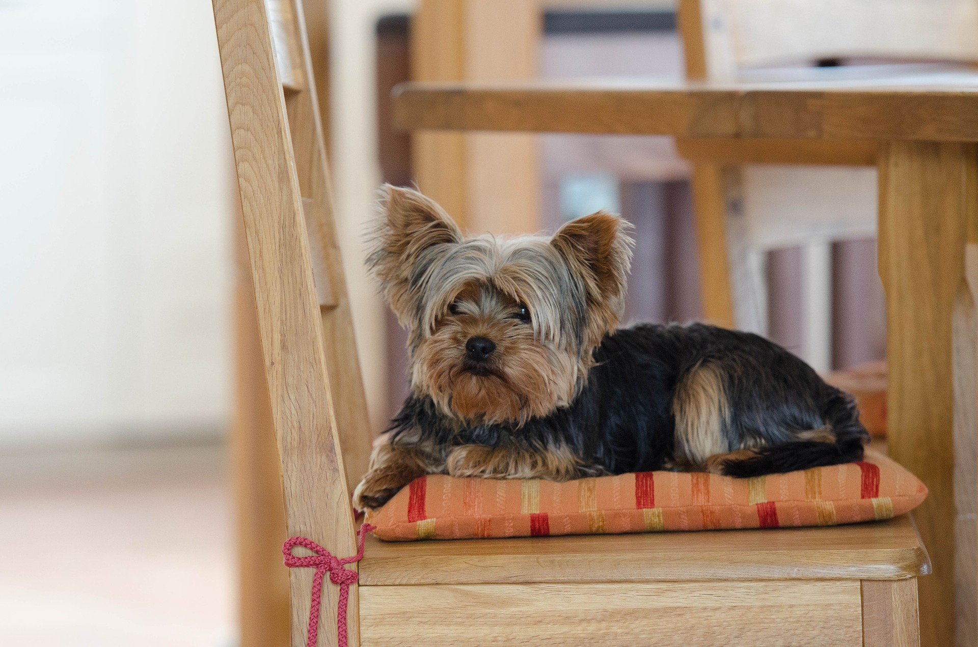 yorkie sitting on chair